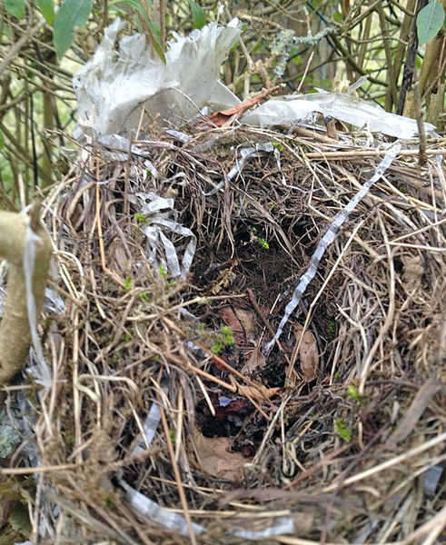 Plastikmüll im Vogelnest. Foto: Uwe Bera