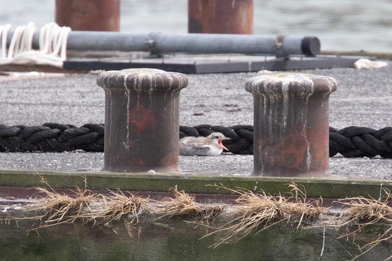 Flussseeschwalben-Küken am Fluthafen Wilhelmshaven. Foto: BUND