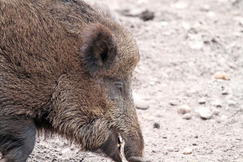 Wildschwein. Foto: BUND / I. Zwoch